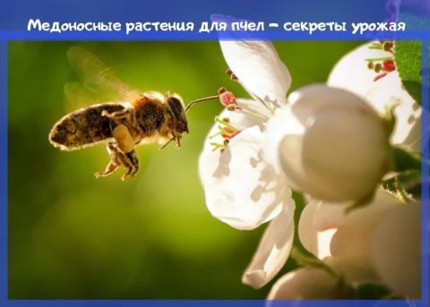 медоносные растения для пчел – секреты урожая