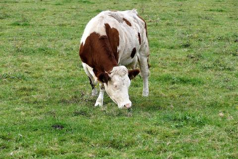 корова пастбище луг поле пасется корм